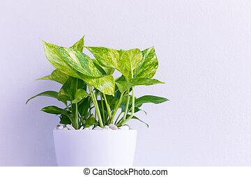 ornamental, plants., thailand., rinner, pengar