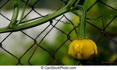 Ornamental pumpkins growing on the fence in the garden