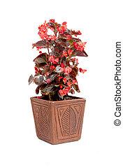 Ornamental Red Leaf Begonia Potplant In Handmade Pot - ...