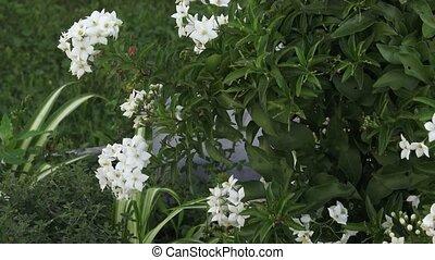 Ornamental shrub with white flower. Popular as ornamental...