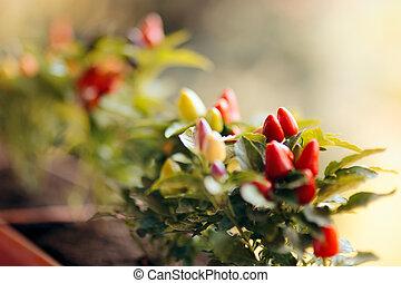 Ornamental Small Pepper Planted in a Pot