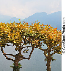 Ornamental trees with yellow leaves