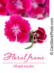 Ornate floral frame of red Dianthus barbatus flowers ...