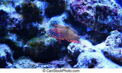 Ornate Leopard wrasse in reef tank