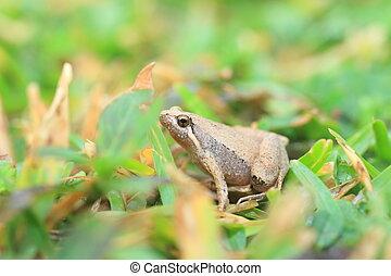Ornate Narrow-Mouthed Frog (Microhyla okinavensis) in Ryukyu...