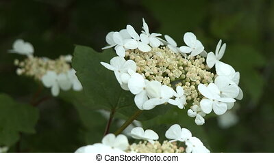 Ornate Viburnum Opulus Flower - Steady, close up shot of an ...