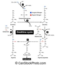 Ornithine cycle, urea metabolic cycle - Ornithine cycle with...