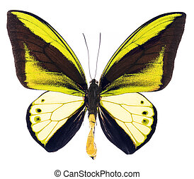 Ornithoptera goliath tropical butterfly isolated -...