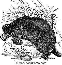 Ornithorhynchus paradoxus or Platypus, vintage engraving - ...
