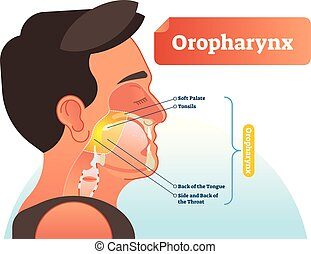 Oropharynx vector illustration. Anatomical labeled scheme with human soft palete, tonsils, back of tongue and side of throat. Diagram for pulmonary and throat medicine.