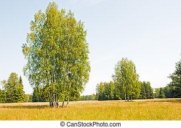 orosz, field., nyírfa