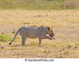 oroszlán, étkezési, wildebeest