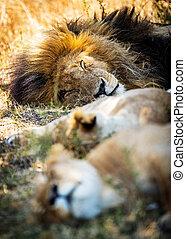 oroszlán, két, nőstény oroszlán, alvás