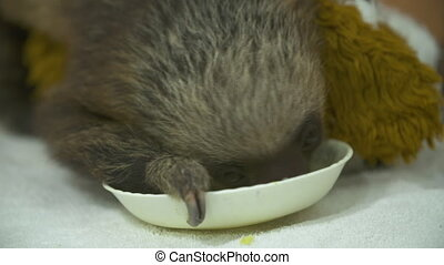 Orphaned Baby Sloth Feeding, Costa Rica Sanctuary - Close-up...