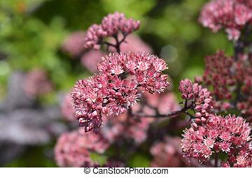 Orpine Purple Emperor flowers - Latin name - Hylotelephium telephium Purple Emperor (Sedum telephium Purple Emperor)