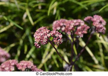 Orpine Purple Emperor - Latin name - Hylotelephium telephium Purple Emperor (Sedum telephium Purple Emperor)