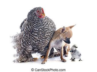 orpington, poulet, et, chihuahua