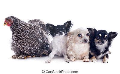 orpington, poulet, et, chihuahuas