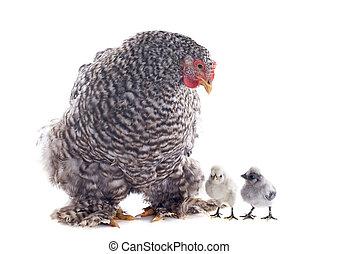 orpington, poulet, et, poussins