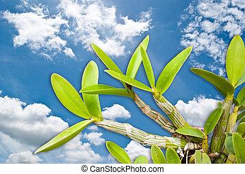 orquídea, céu
