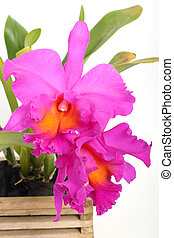 orquídea, cattleya, violeta