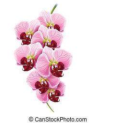 orquídea, flor, rama