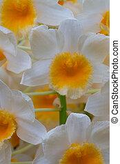 orquídea, flores, cicatrizarse