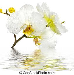orquídea, fresco