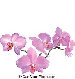 orquídea, ilustración