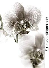 orquídea, preto branco
