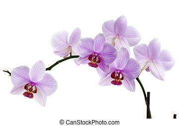 orquídea rosa, aislado, blanco, plano de fondo