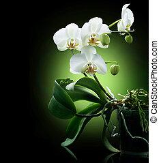 orquídea, sobre, pretas