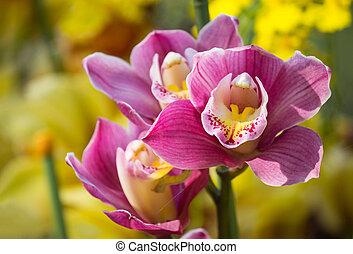 orquídia cymbidium, flor