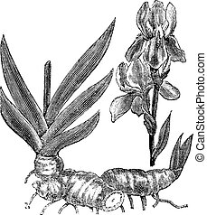 Orris root or Iris florentina vintage engraving - Orris root...