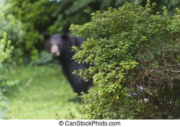 orso, appostando