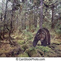 orso marrone, camminare