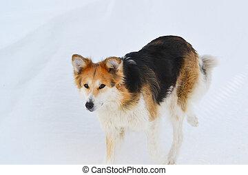 ország, kutya, háttér, hó