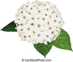 ortensia, fiore, bianco