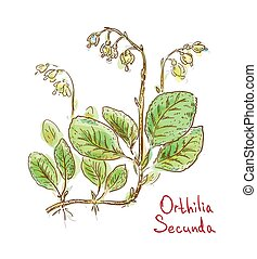 Orthilia Secunda or sidebells wintergreen, one-sided-wintergreen and serrated-wintergreen. Vector illustration