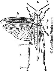 Orthoptera, vintage engraving. - Orthoptera, vintage...