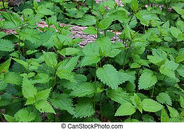 ortica, primavera, foresta, pungere, thickets