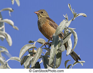 Ortolan Bunting male sitting on a tree branch.