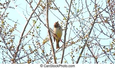 Ortolan Bunting sitting on a tree