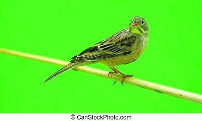 ortolan (Emberiza hortulana) isolated on a green background...