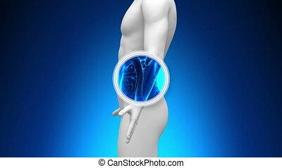 orvosi röntgenkép, fürkész, -, vese