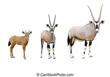 oryx, aislado