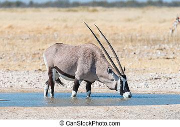 Oryx, also called gemsbok, drinking water at a waterhole