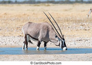 Oryx, also called gemsbok, drinking water at a waterhole