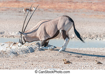 Oryx, also called gemsbok, kneeling to drink water