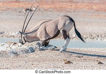 Oryx, also called gemsbok, kneeling to drink water